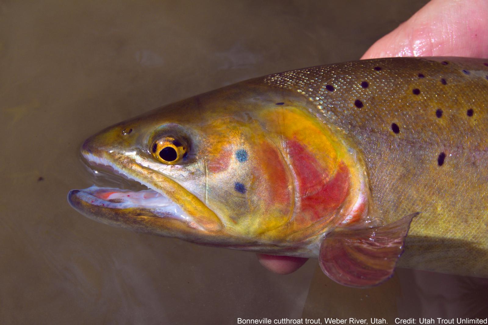 Close up of Bonneville cutthroat trout. Credit: Utah Trout Unlimited