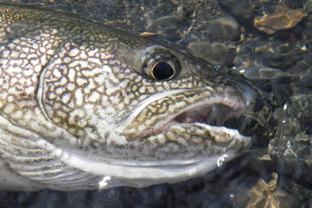 Alaska Lake Trout courtesy of Alaska Dept of Fish and Game