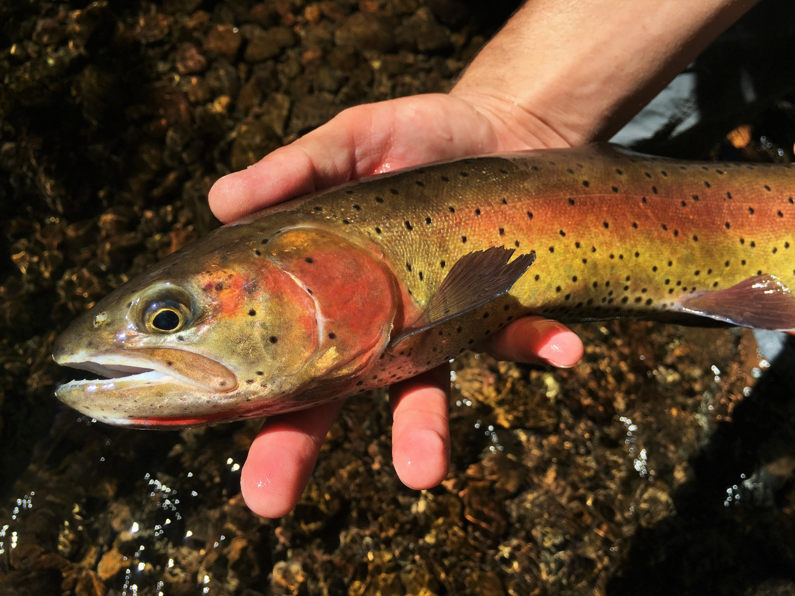 Lahontan Cutthroat Trout. Courtesy of Native Trout Addict.