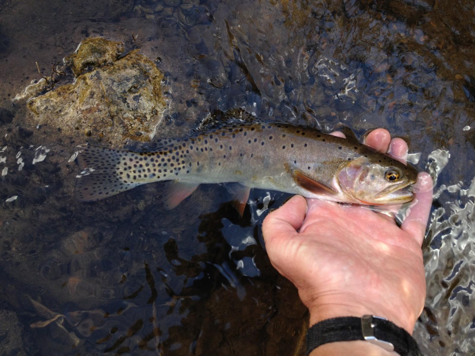 Logan River Bonneville Cutthroat Trout