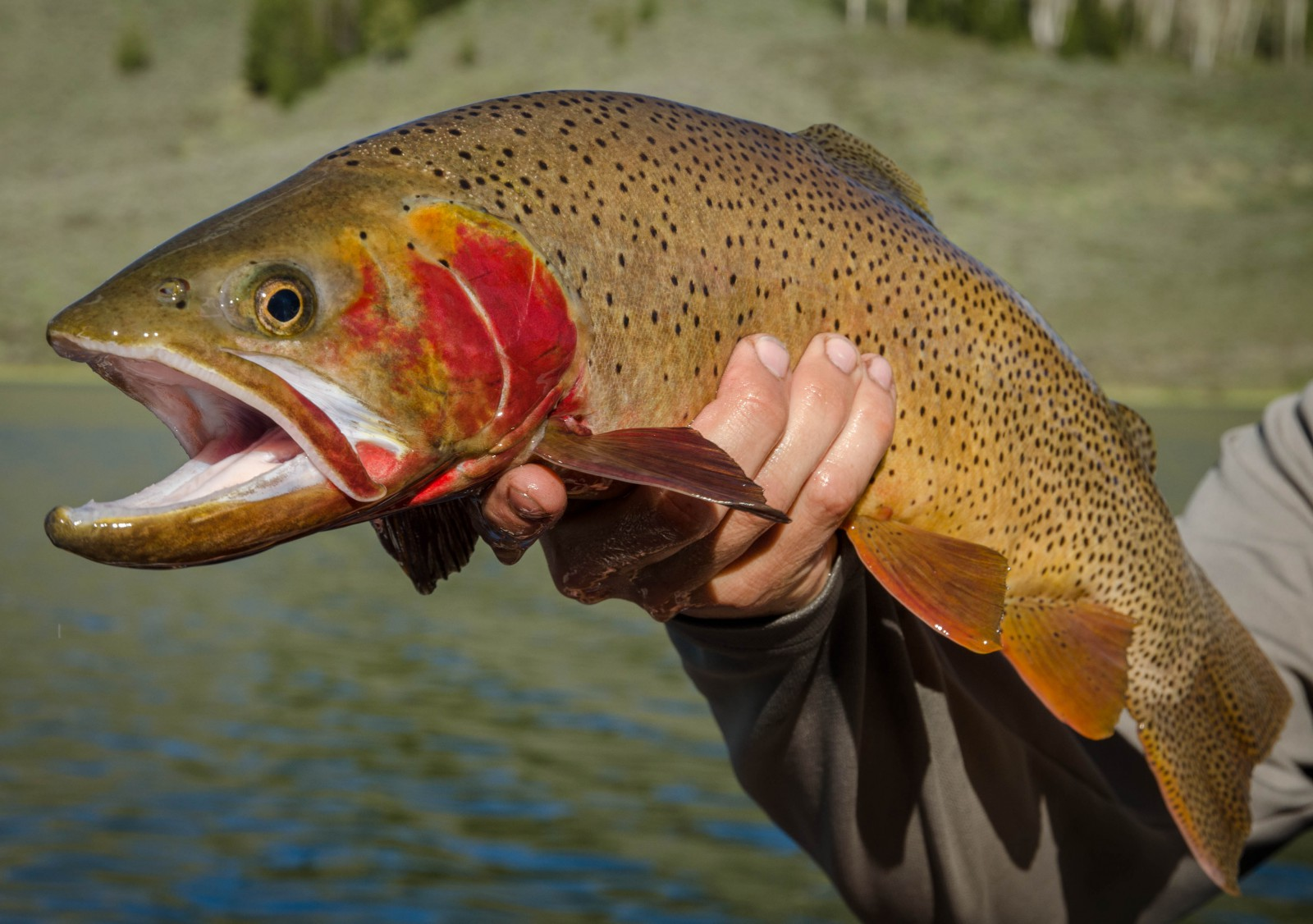 Yellowstone Cutthroat Courtesy of Friends of the Teton River