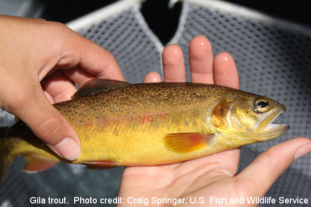 Gila trout. Photo credit: Craig Springer, U.S Fish and Wildlife Service