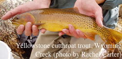 Yellowstone cutthroat trout, Wyoming Creek. (photo by Rachel Carter)
