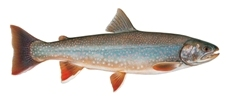 Dolly Varden Female