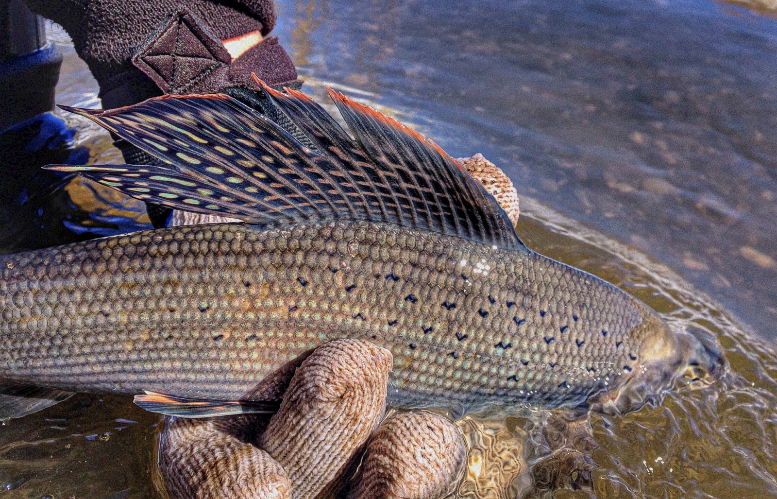 Arctic Grayling. Photo © Andrew Gilham/USFWS on Flickr through a Creative Commons license