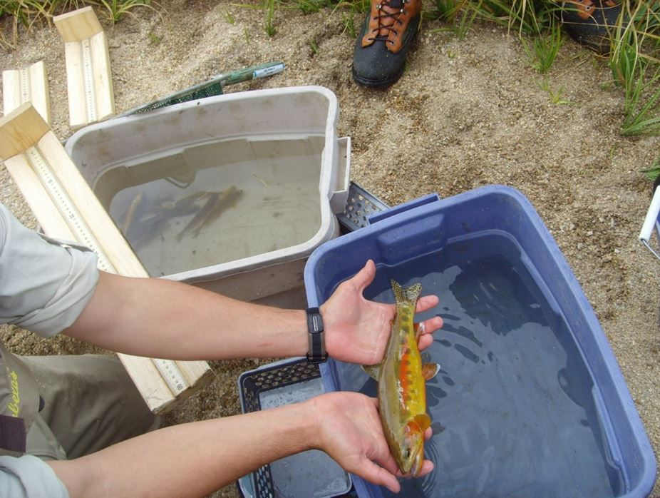 California Golden Trout. Photo courtesy of California Dept of Fish and Wildlife
