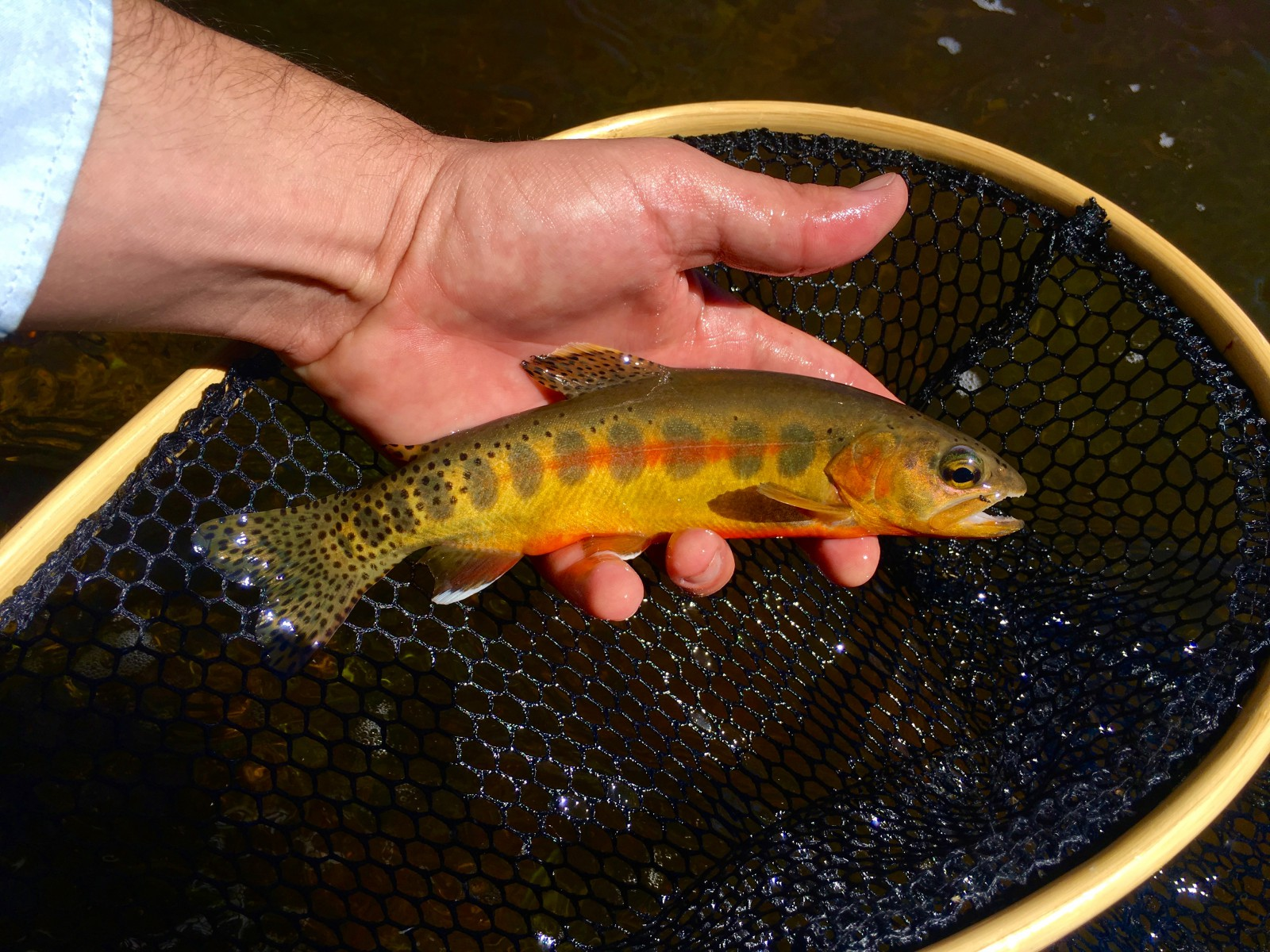 California Golden Trout photo courtesy of Native Trout Addict