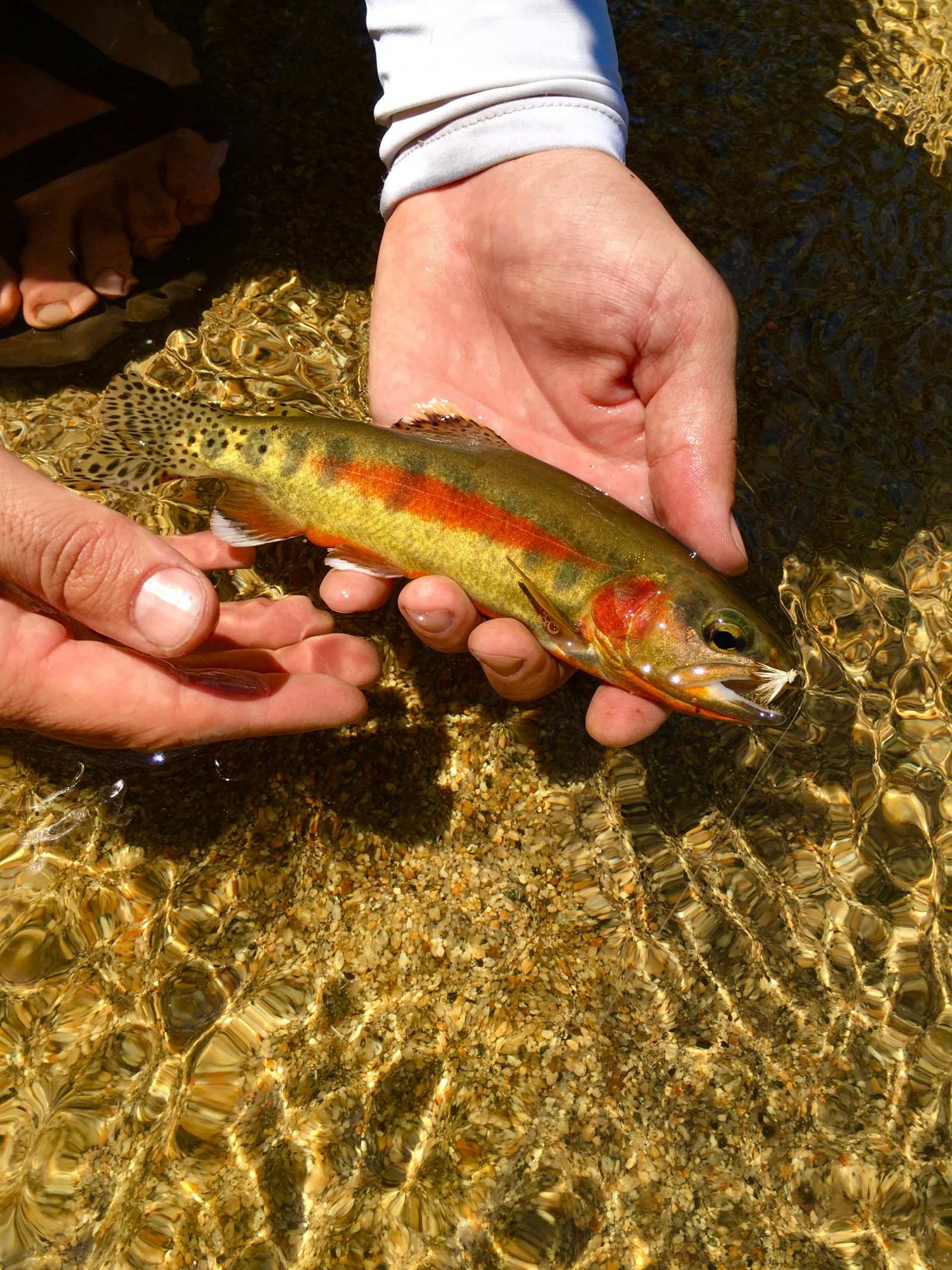California Golden Trout courtesy of Native Trout Addict