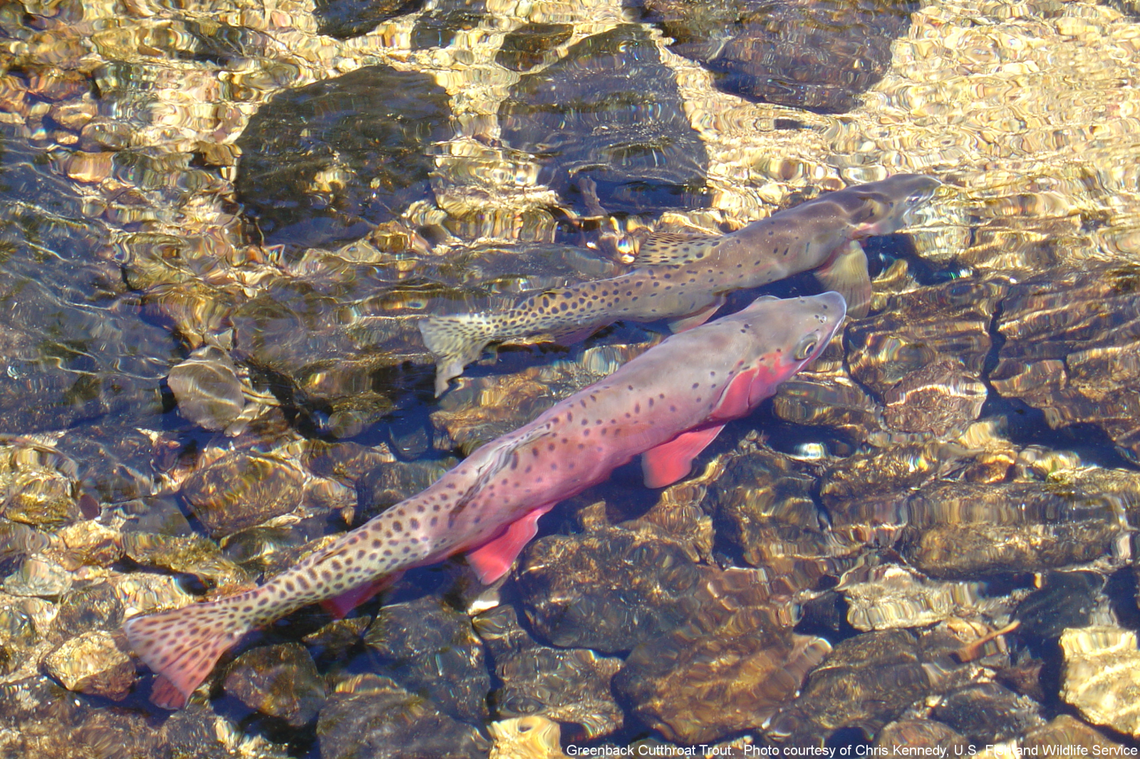 Greenback Cutthroat Trout. Courtesy of Chris Kennedy, U.S. Fish and Wildlife Service