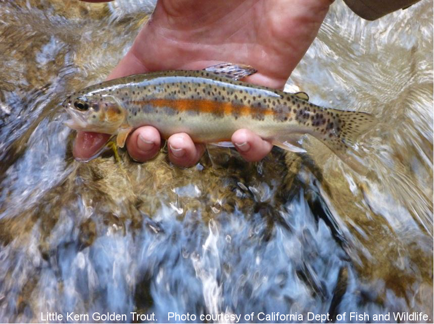 Little Kern Golden Trout. Photo courtesy of California Dept of Fish and Wildlife
