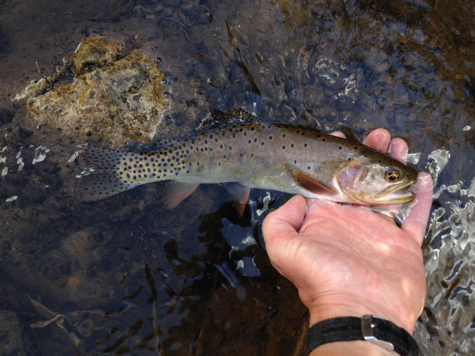 Logan River Bonneville Cutthroat Trout