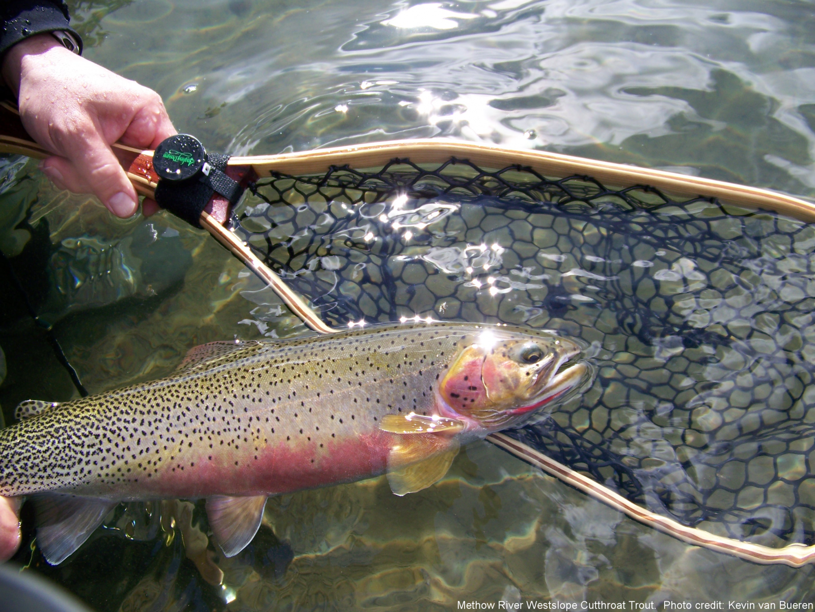 Methow River Washington Westslope Cutthroat trout