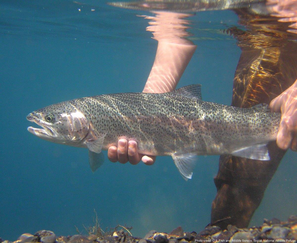 Alaskan rainbow trout Togiak National Wildlife Refuge