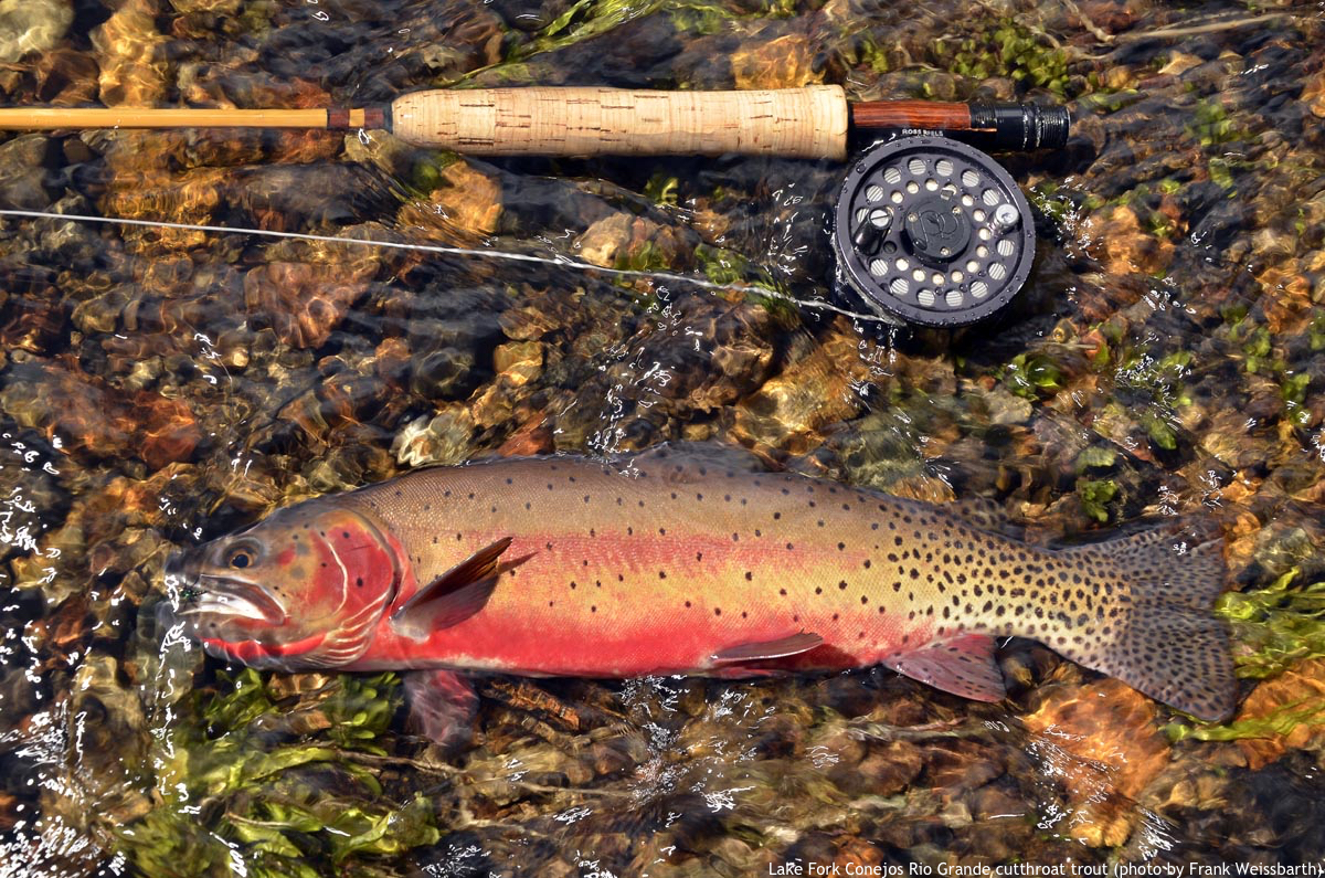 Rio Grande cutthroat trout, Lake Fork Conejos by Frank Weisbarth