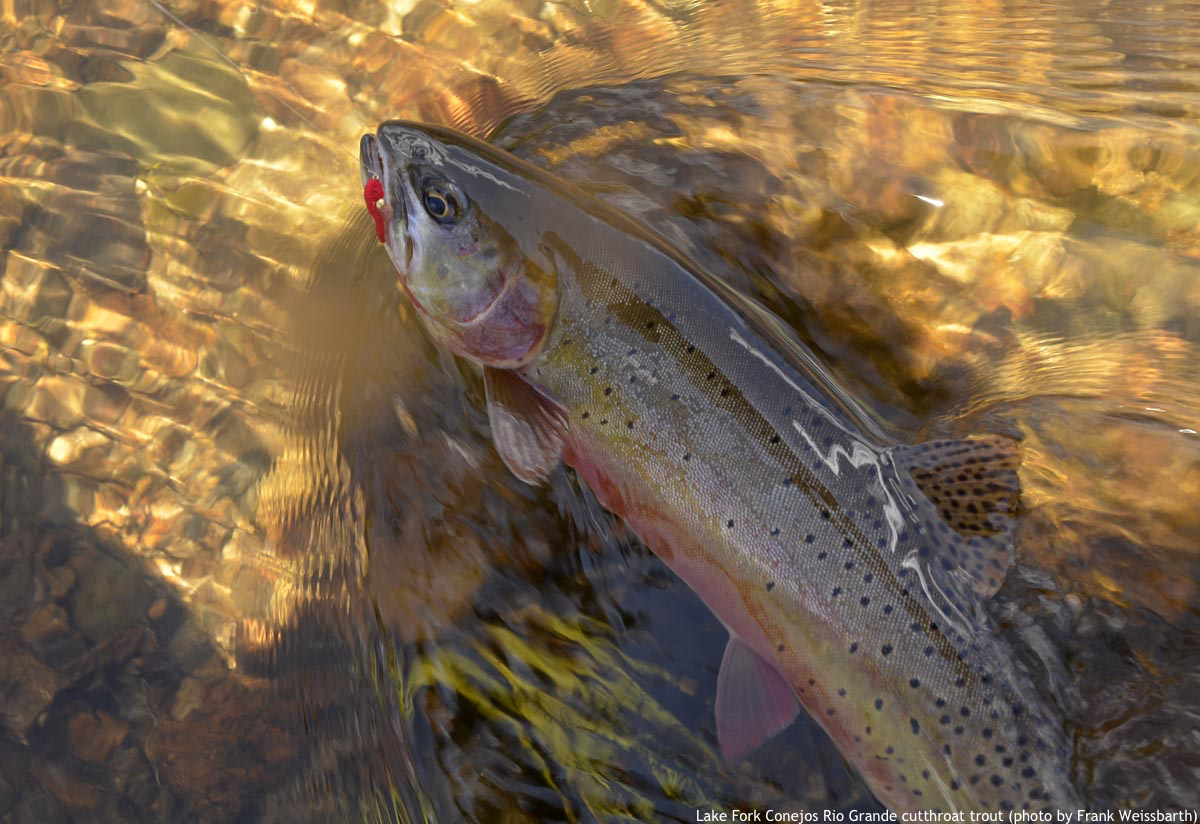 Lake Fork Conejos Rio Grande cutthroat trout by Frank Weisbarth