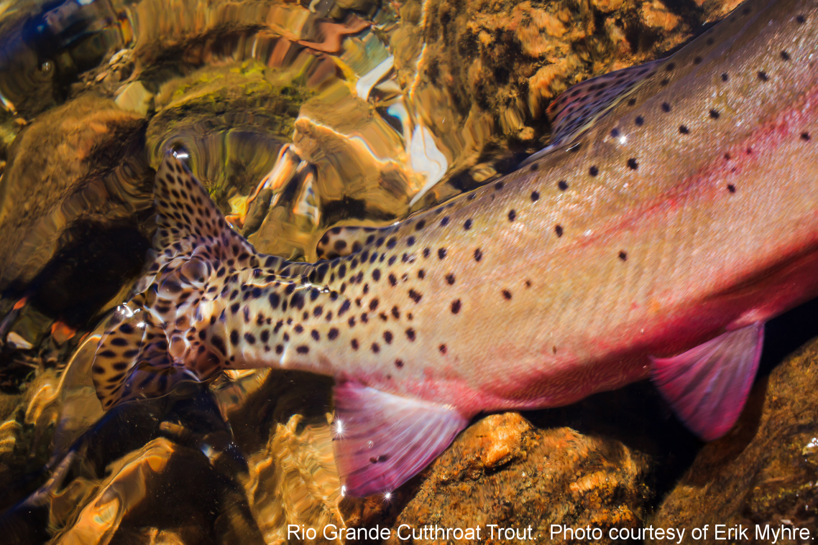 Rio Grande Cutthroat Trout. Photo credit Erik Myhre