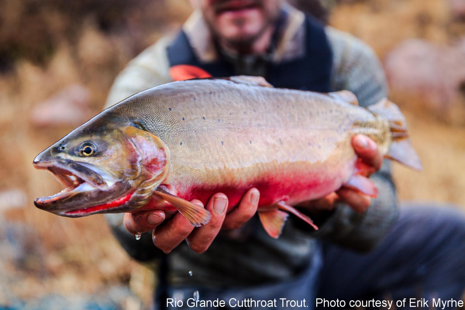 Rio Grande Cutthroat. Erik Myhre Photographer