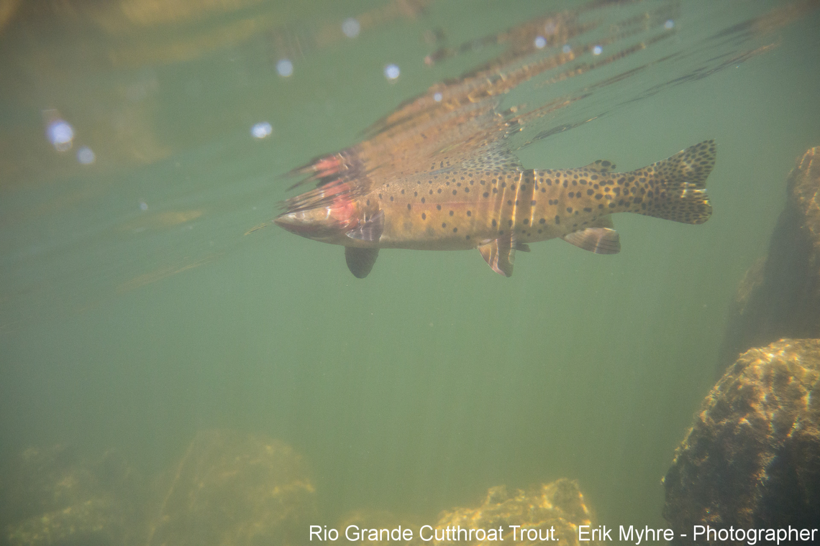 Rio Grande Cutthroat Trout. Erik Myhre Photographer