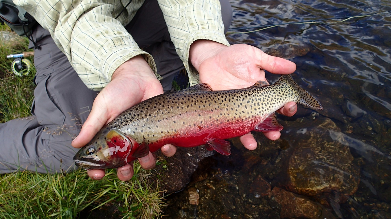 Rio Grande Cutthroat Trout. Photo provided by Kevin Terry.