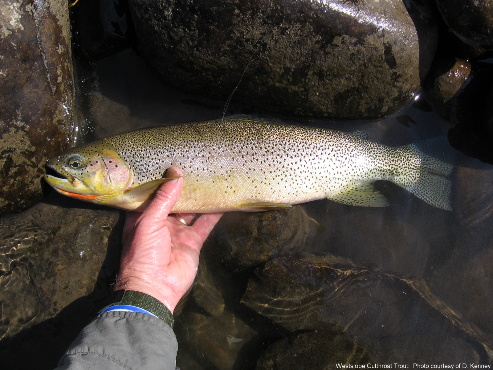 Westslope Cutthroat. Courtesy of D. Kenney