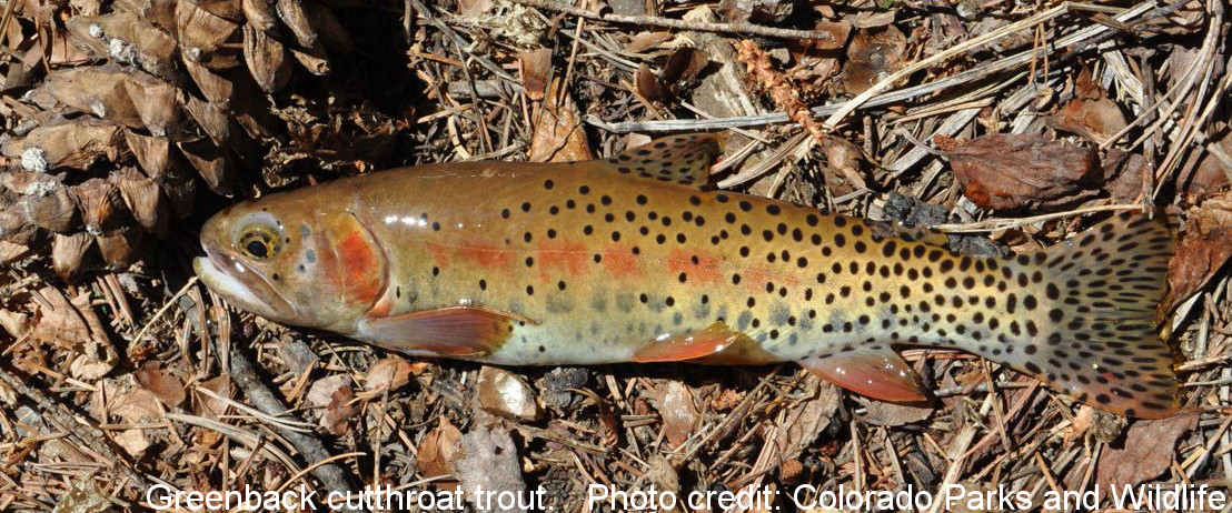 Greenback cutthroat trout. Photo credit: Colorado Parks and Wildlife